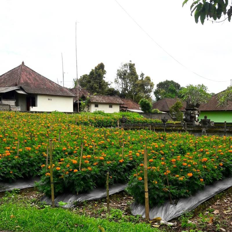 Ladang Bunga Marigold
